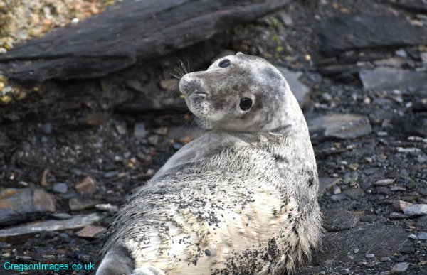 071-Seal-Pup