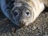 011-Welsh-seal