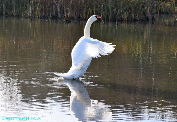 216-Swan