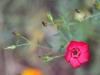 001-Dianthus