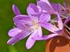 008-Colchicum-in-flower