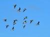 048-Birds-in-Flight