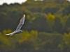 069-Seagull-in-Flight