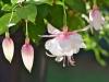 092-Fuchsia-Flowers-in-the-garden