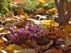 101-Cyclamen-in-the-front-garden