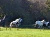 127-Wild-Horses-of-the-Dearne-Valley
