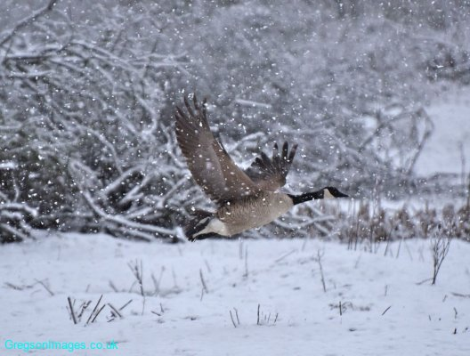 04-The-Snow-Goose