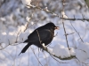 05-Hungry-Blackbird