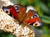 07-Butterfly-on-a-Buddleia