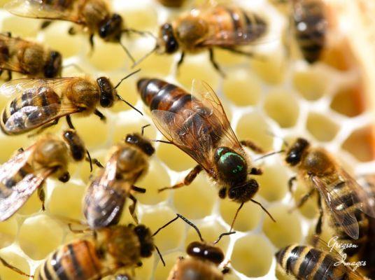 34-Queen-Bee