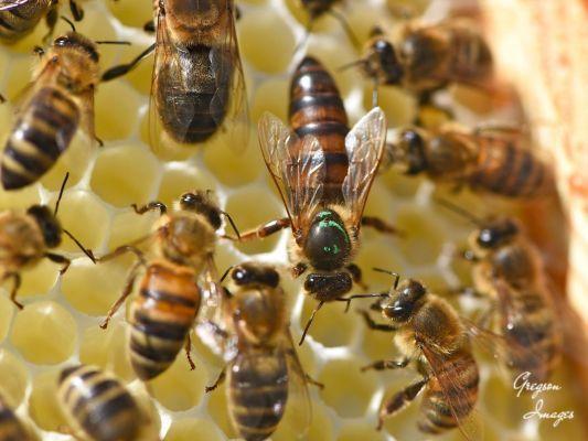 35-Queen-Bee