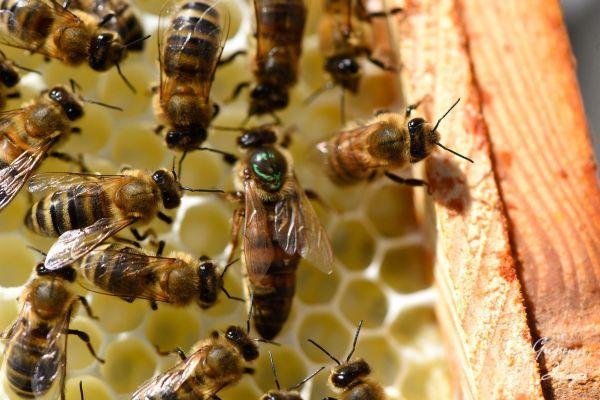 38-Queen-Bee