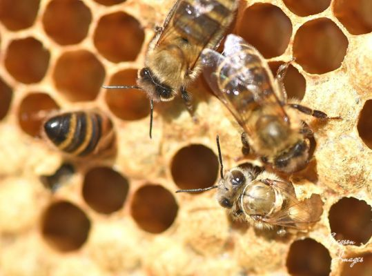 49-Emerging-bee