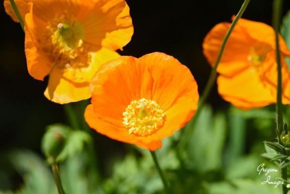 63-orange-Poppy