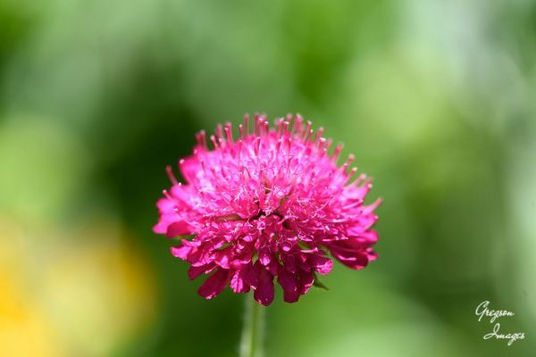 64-Scabious