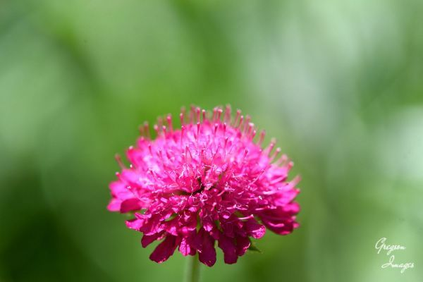 65-Scabious
