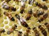 1_40-Queen-Bee