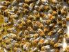 24-Bees-in-the-hive