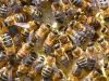 25-Bees-in-the-hive