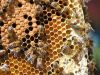 28-Bees-on-honeycomb