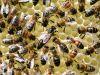 33-Queen-Bee