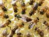 39-Queen-Bee