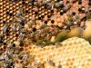 43-Bees-on-honeycomb