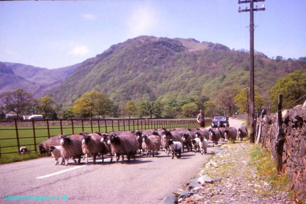 116-Sheep-near-Mountain-View-Borrowdale-May-1963