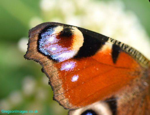 139-Butterfly-Wing