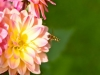 070-The-Hoverfly-and-the-Dahlia
