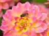 075-The-Hoverfly-and-the-Dahlia