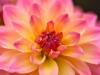 080-Colourful-Dahlia-in-the-garden