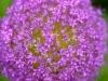087-Allium