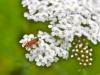 091-Beetle-on-Achillea