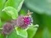094-Hoverfly-on-Burdock-flower
