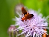 104-Red-Soldier-beetle-down-the-lane
