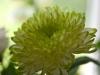 121-Chrysanthemum