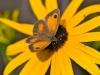 135-Butterfly-on-a-Rudbeckia