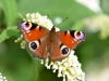 137-Painted-Lady-in-the-garden