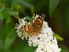 153-Butterfly-on-a-Buddleia