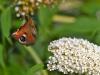 158-Butterfly-in-flight