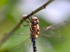 165-Dragonfly-resting-on-the-apple-tree