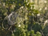 196-Horses-head-or-spiders-webs