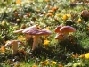 020-Fly-Agaric-Mushrooms-down-the-lane
