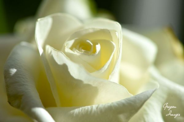006-A-White-Rose