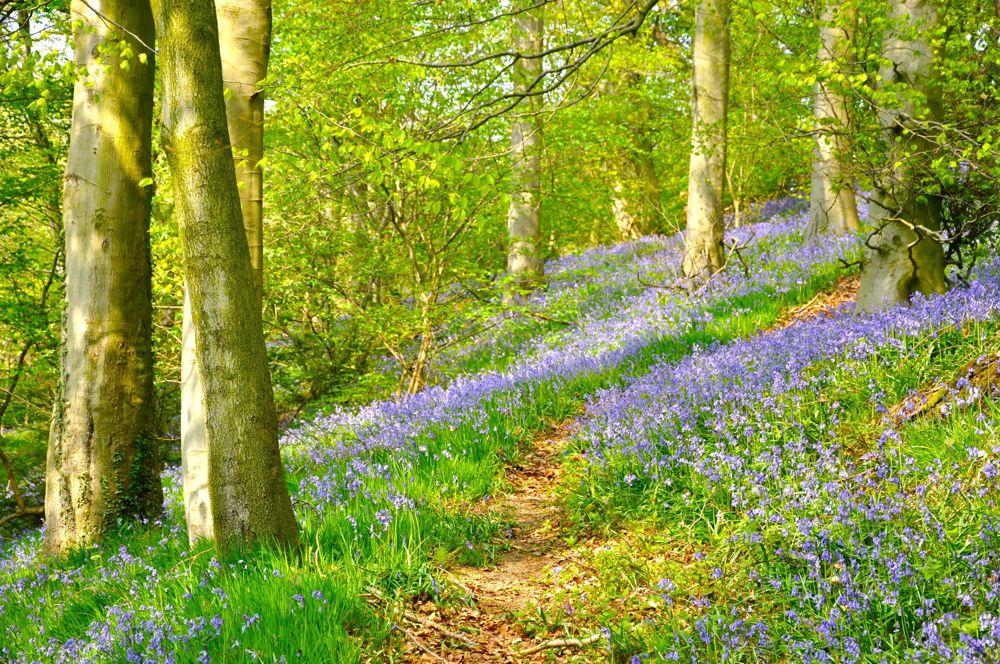 016. Bluebell walk Gunthwaite