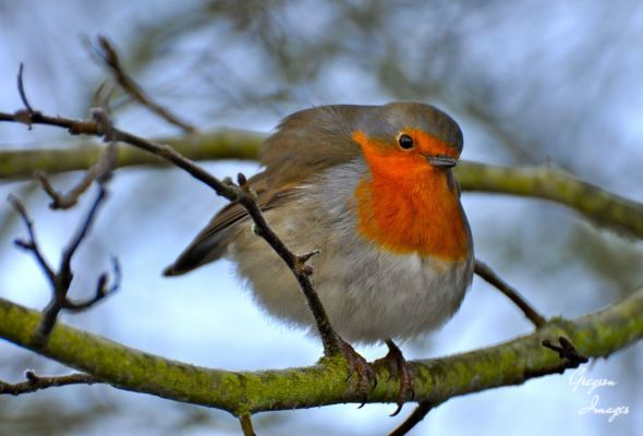 017-Robin-in-Winter