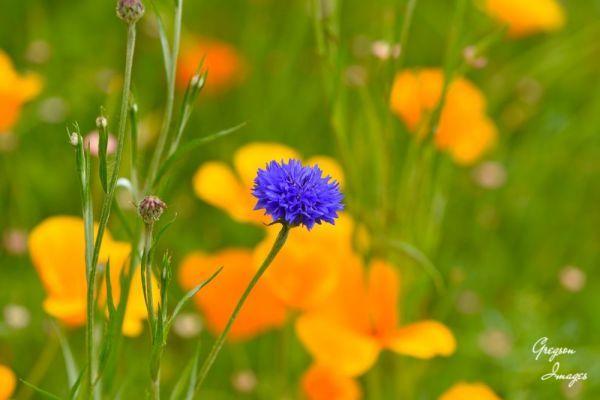 019-Cornflower-Blue
