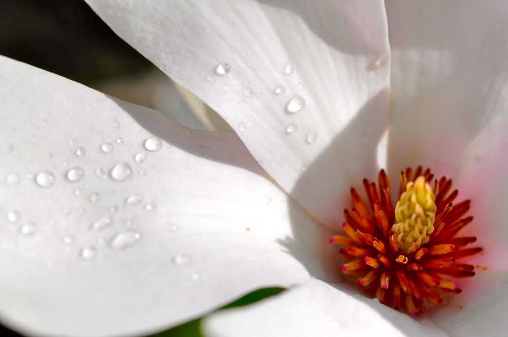 021.-Magnolia-after-the-rain