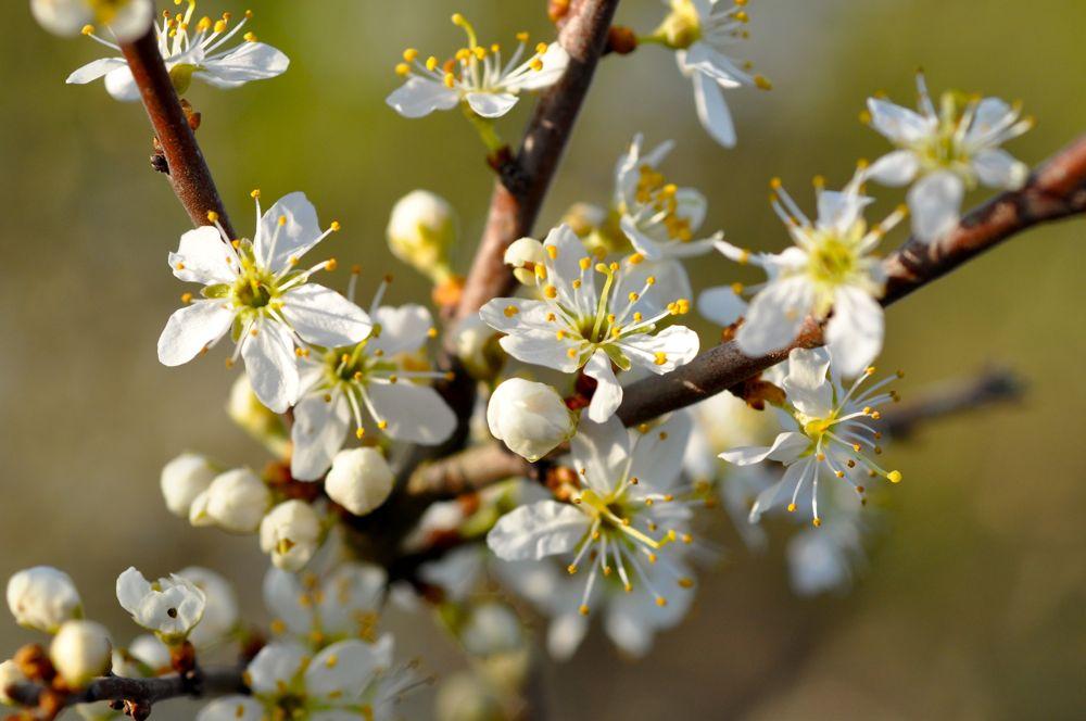 039.-Blackthorne-blossom-Cawthorne